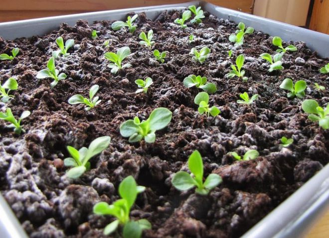 сколько дней всходят семена бальзамина