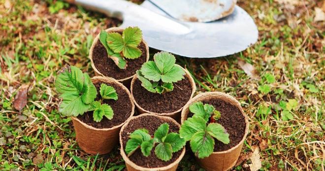 вырастить катальпу из семян в домашних